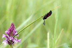 Tête à l'envers. (vepephotos) Tags: macro papillon fleur orchidée butterfly proxi canon eos7dmark2 60mm vienne civaux france poitou orveau flower