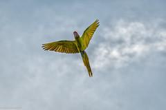 Great Green Macaw (Ara ambiguus), Costa Rica (Lassetjus photo) Tags: puertoviejodesarapiqui herediaprovince costarica cr