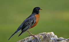 """Robin resting (*Millie* """"Catching up with you soon!"""") Tags: robin bird red depthoffield rock nature outdoor green unioncanaltunnelpark lebanonpa americanrobin"""