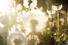 (atomareaufruestung) Tags: pusteblume clock dandelion berlin may mai 2017 nature spring flower pflanze natur frühling blurred tiefenschärfe depthoffocus canoneos7dmarkii canon7dmarkii 7dmarkii eos7dmarkii ef24105mmf4lisusm 24105 canon kitsch flare backlight gegenlicht lensflare summer sommer verano
