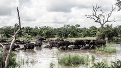 bath_tub (AnteKante) Tags: africa buffalo hole herd nationalpark tier waterbuck herde natur animal loch kruger krüger southafrica südafrika afrika büffel wilderness wasserbüffel