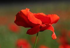 Une valse solitaire (leathomson83) Tags: coquelicot rouge fleur bokeh