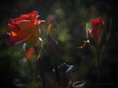 Sisters (MacroMarcie) Tags: roses rose flowers flora 7dwf tgif texture