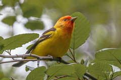 Male Western Tanager (Photos_By George) Tags: tanagers bird westerntanagers birds
