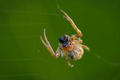 Schilfradspinne (G_Albrecht) Tags: araneae araneidae araneomorphae insect larinioidescornutus echteradnetzspinnen echtewebspinnen insekt schilfradspinne spinne tier umwelt webspinnen