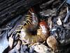 Cormocephalus sp. (Jackson Nugent) Tags: animal arthropod myriapod cormocephalus centipede scolopendromorpha scolopendrid