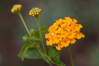 Yellow Buddleia