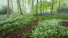 May Blooms (Damian_Ward) Tags: ©damianward damianward beech commonbluebell trees chilterns chilternhills thechilterns fog mist wildgarlic ramsons wood forest woodland