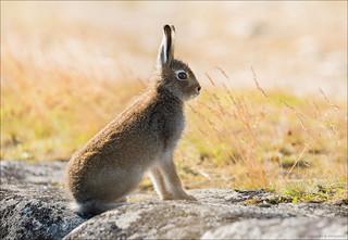 Lepus timidus. Mountain hare close-up