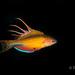 flasher wrasse (Todd Aki) Tags: tritonbayindonesia flasherwrasse scuba