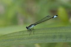 _25A3718-001 (vepephotos) Tags: libellule dragonfly macrophotography macro canon eos7dmark2 60mm orveau civaux vienne poitou france nature