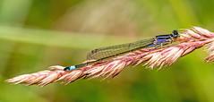 Blue-tailed Damselfly (niloc's pic's) Tags: bluetaileddamselfly ischnuraelegans damselfly insect robertsbridge eastsussex panasonic lumix dmcgx7