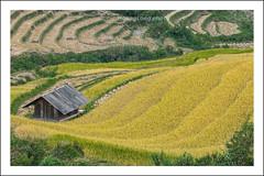 _MG_9732.1011.Dế Su Phình.Mù Cang Chải.Yên Bái (hoanglongphoto) Tags: asia asian vietnam northvietnam northwestvietnam landscape scenery vietnamlandscape vietnamscenery vietnamscene terraces terracedfield terracedfieldlandscape terracedfieldlandscapeinvietnam harvest hillside house canon canoneos5dmarkii tâybắc yênbái mùcangchải dếsuphình phongcảnh ruộngbậcthang lúachín mùagặt ruộngbậcthangmùcangchải mùagặtmùcangchải lúachínmùcangchải gettyimage sườnđồi ngôinhà nhà canonef70200mmf28lisiiusmlens
