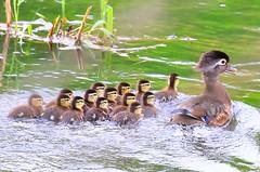 wood duck hen & ducklings at Lake Meyer Park IA 854A7128 (lreis_naturalist) Tags: wood duck hen ducklings lake meyer park winneshiek county iowa larry reis