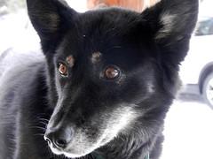 Dog portrait #3 (lmundy2002) Tags: dogs dogsled dogsledding huskies sleds whitefish olney whitefishmt olneymt montana mt winter wintersports