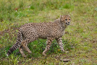 Cheetah / Gepard