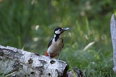 NON si parla con la bocca piena !        :(( (carlo612001) Tags: merenda picchio bosco primavera woodpecker wood forest spring snack
