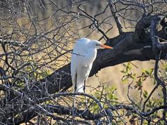 Great Egret (David Bygott) Tags: usa arizona ruby bird