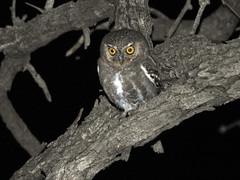 Elf Owl (David Bygott) Tags: usa arizona ruby bird