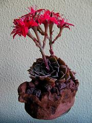 IMG_9704 (asac_cactus) Tags: cactus suculentas suculents asac barcelona graptopetalum bellum echeveria agavoides cristata