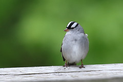 White-crowned Sparrow...6O3A0532A (dklaughman) Tags: grangeinsuranceauduboncenter columbus ohio bird