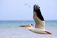 Pelican Fly By (imageClear) Tags: pelican bird americanwhitepelican wildlife bif fly white lakemichigan sheboygan wisconsin springtime may big aperture nikon d500 80400mm imageclear flickr photostream