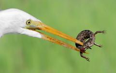 Triple Bite! (bmse) Tags: great egret bolsa chica lizard western alligator feeding prey bite bmse salah baazizi wingsinmotion canon 7d2 400mm f56 l