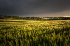 Fast weather change (dam.he) Tags: wheat cantonofthurgau thurgau landscape eveningcolors schweiz eveninglight wetterstimmung switzerland kantonthurgau kornfeld gewitterwolken weatherchange wetterwechsel leicaq