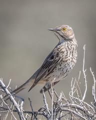 bird birds california monolaketufastatenaturalreserve sagethrasher tufastatenaturalreserve oreoscoptesmontanus monolake nature wildlife brown thrasher sath southtufa sage
