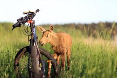 IMG_1578 (maarcinwu) Tags: moose bike wild canon 6d 135mmf2l