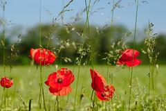 Poppy & Grass (G. Lang) Tags: sonyalpha7ii flowers poppy feld sonyilce7m2 field blumen tamronaf90mm128macro11 import28052017 gras grass commonpoppy klatschmohn blossom fleurs blüte
