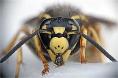Wasp chewing plastic (Small Creatures) Tags: closeup closeuplens enlarger d40 laminex macro macromodification nikond40 nikon105mmf25 reversemounting reversedlenses repurposing leica lensshade ufuoo wasp