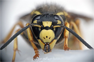 Wasp chewing plastic