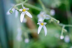 148/365 (Daegeon Shin) Tags: fujifilm xpro2 nikkor 55mmf28 365 saxifragastolonifera flower flor dof bokeh mirrorless macro 접사 mf manualfocus 수동 수동촛점