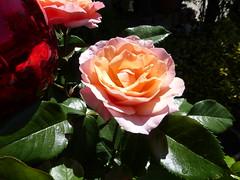 Hochstammrose 'Madam Curie' (anemone54) Tags: rosenbusch rose rosengewächs rot gelb grün rosenblätter rosenkugel hochstammrose rosebush red yellow green bloom flowerpot plant glassball