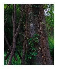 Vine on Tree on 8x10 Velvia 50 (Pali K) Tags: analog filmisawesome filmphotography filmisnotdead fujifilm velvia velvia50 tetenale6 jobocpp2 heidelberg tango pmt drumscanner drumscan maryland md trail nature landscape trees vine color colorslide 8x10film 8x10slide largeformat deardorff v8 8x10 symmars 360mm f68 ishootfilm istillshootfilm ilovefilm