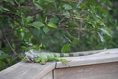 IMG_7186 (tomv2000) Tags: green cay wetlands iguana lizard wildlife