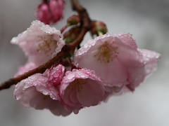 Water World (Bob90901) Tags: water drops spring wet rain portland maine cherryblossom focus depthoffield bokeh rpg90901 canon 6d canonef70200mmf28lisiiusm canon70200f28lll flowers bud morning raindrops dof 2017 april 0732
