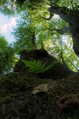 look up (Rainer Schund) Tags: three look up nikon d4 8mm f18 iso 100 1 sek nikond4 farn wald forgotten forest natur nature natureexploring naturemasterclass bäume
