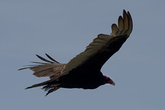 Turkey Vulture (Marv R Penner) Tags: turkeyvulture vulture bird flight nikon d800e 70200