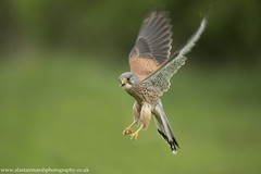 Kestrel in Flight (Alastair Marsh Photography) Tags: kestrel kestrels malekestrel britishwildlife bird britishanimals britishanimal britishbirds birds britishbird wildlife animal animals animalsintheirlandscape spring springtime feathers feather flight fly flying hunting hunt birdofprey birdsofprey farm farmland farmanimal farmanimals
