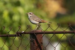 Luscinia svecica (Sergei Spiridonov) Tags: lusciniasvecica birds garden bokeh manuallens manualfocusing jupiter37a13535 m42 micro43 mft lumixgm1 варакушка
