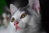 trying the macro on my babycat (Tiny Raissa) Tags: macro eyes blue eye macrolens nikon3300 nikon nikonitalia cat babycat animals feline