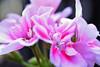 flower (Tiny Raissa) Tags: flower macro nature natura fiori rosa bianco macrolens obbiettivo oshiro 60mm nikonitalia nikond3300 nikonphoto raissa garden