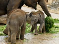 Zwei von vier neuen Elefanten Babys (BrigitteE1) Tags: elefantenbabys elephantbabies elefant elephant asiatischerelefant asianelephant elephasmaximus erlebniszoohannover hanover zoo animal animals baby babies