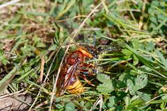 Hornet and prey (Steve Balcombe) Tags: insect hymenoptera aculeata vespa crabro wasp hornet queen brown yellow predator prey odonata anisoptera dragonfly hairy male brachytron pratense woodland somerset uk