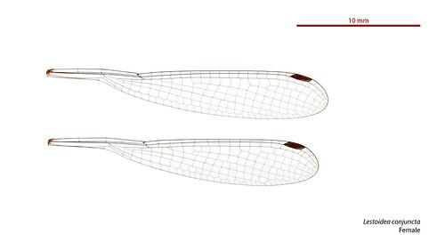 Lestoidea conjuncta female wings