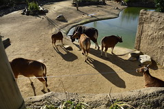 Islands at Chester Zoo (481) (rs1979) Tags: chesterzoo zoo chester islands banteng