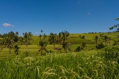 IMG_0645 (Ela&Piotr) Tags: bali indonesia indonezja jatiluwih ricefields