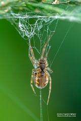 Sheet weaver spider (Linyphiidae) - DSC_5390 (nickybay) Tags: macro malaysia pahang frasershill bukitfraser spider sheet web linyphiidae weaver